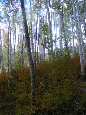 Aspen forest on Sink Creek