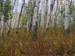Aspen jungle understory on Sink Creek