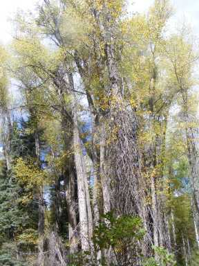 Cottonwood on South Smith Fork