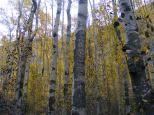 Aspen forest on Cottonwood Creek