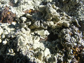 Lichen close up