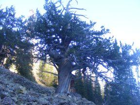 A ancient bristlecone pine