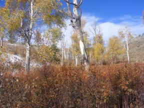 Aspen and rose, Autumn colors on Steers Gulch