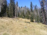 Aspen and conifer matrix at meadow's edge