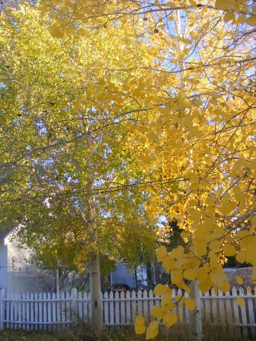 Aspen in my backyard, Gunnison, Colorado