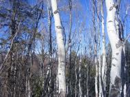 Aspen on the Crystal Creek Trail