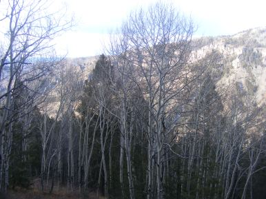 Aspen in the shade, looking across West Elk Creek