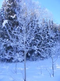Aspen covered with rime.