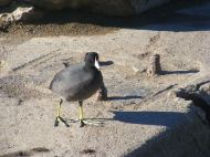 An American Coot on the ruins of the Sutro Baths