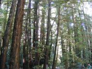 The redwood forest in Armstrong Redwoods State Natural Reserve
