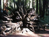 The root ball of an ancient toppled redwood in Armstrong Redwoods State Natural Reserve