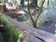Moss covered redwood log lying across Fife Creek in Armstrong Redwoods State Natural Reserve