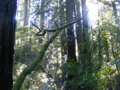 Along the Pioneer Nature Trail in Armstrong Redwoods State Natural Reserve, the verdant redwood forest