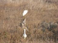 A pair of what might be snowy egrets in the tidal flats of Carquinez Strait