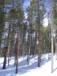 The lodgepole pine forest on Middle Quartz Creek