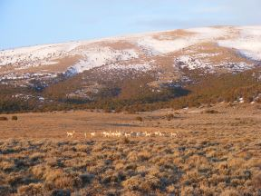 Pronghorn on G Flats
