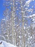 Leah below snow-coated aspen on Gold Creek
