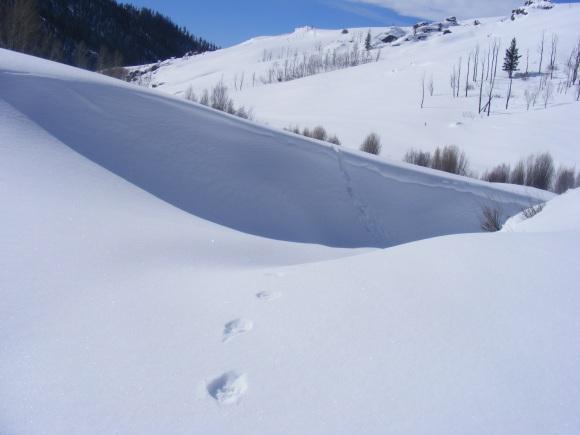 Bobcat tracks through a drift on Willow Creek