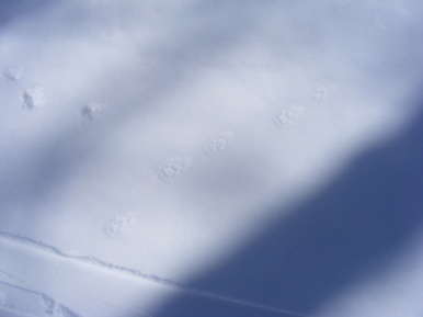 Set of bobcat tracks