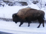 The Buffalo move along at their own pace