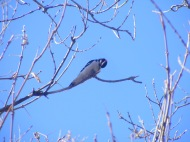 Perhaps a downy woodpecker in Columbus, Montana, at Itch-Kep-Pe Park